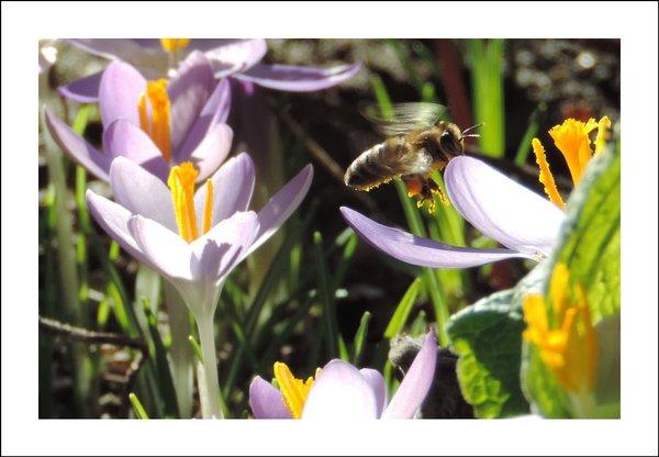 Biene im Anflug auf Krokusblüte - Classic Edition