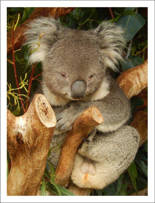 Kuscheliger Koala - Classic Edition