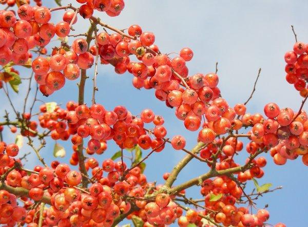 Zieräpfel im Herbstlicht