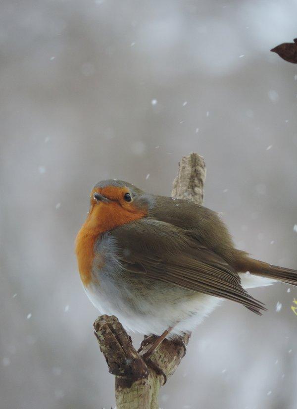 Rotkehlchen in der Winterkälte