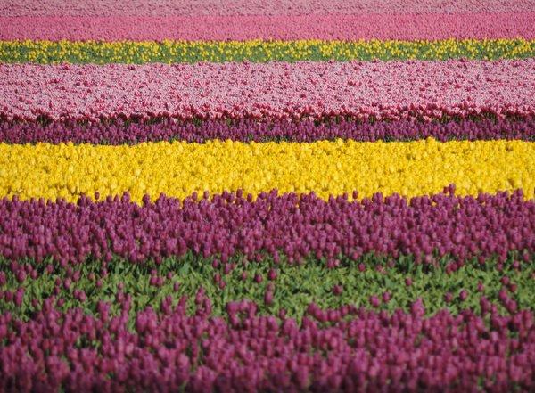 Kunterbunter Tulpenteppich