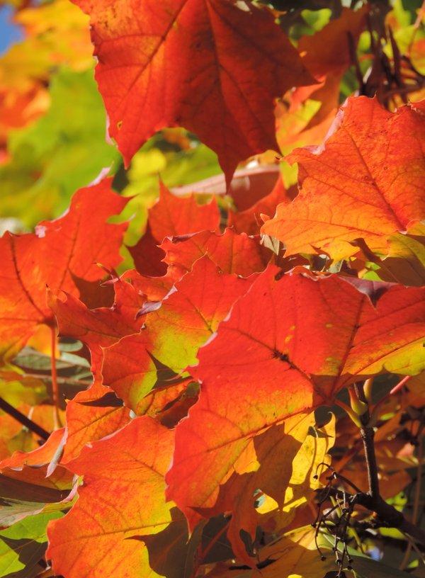 Herbstliches Ahornlaub