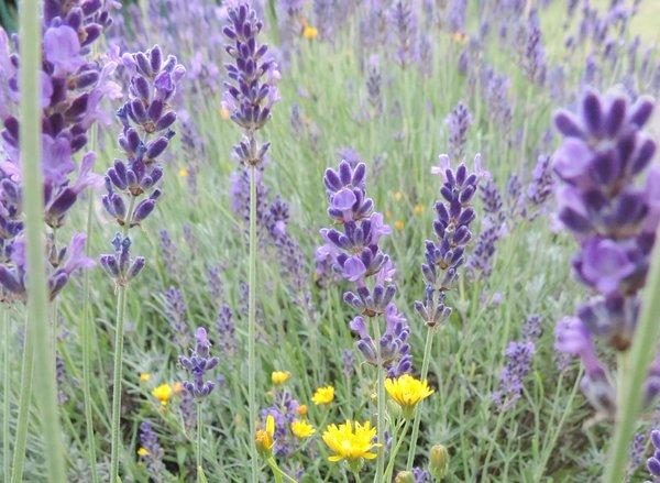 Pippau umgeben von Lavendel