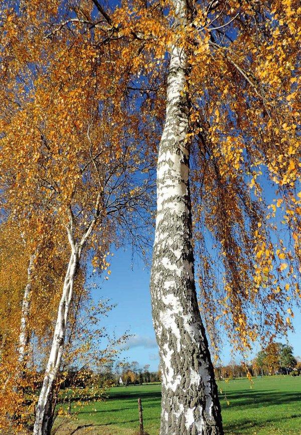 Birken im Herbstkleid