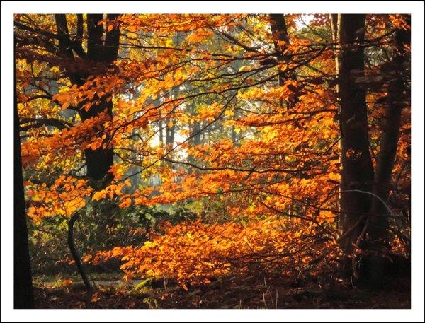 Rotbuchen im Herbstkleid - Classic Edition