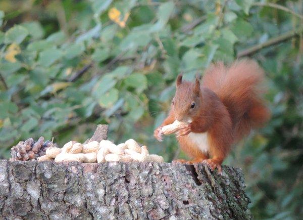 Eichhörnchen-Buffett