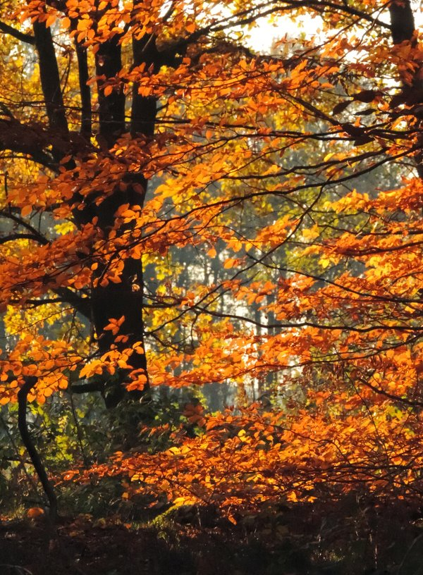 Herbstliche Rotbuchen