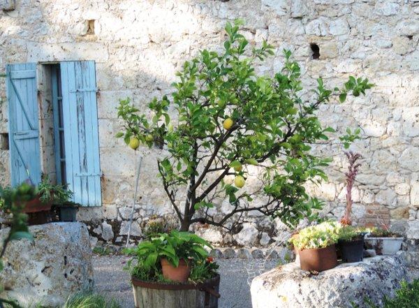 Zitronenbaum in Südfrankreich