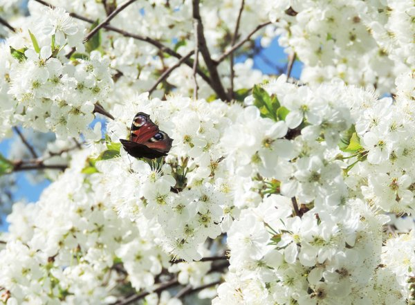 Kirschblüten mit Tagpfauenauge